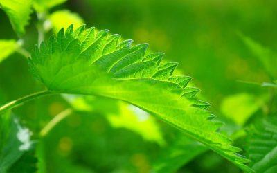 Kopriva – mala riznica vitamina i mineral